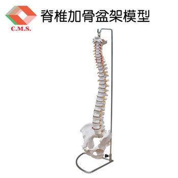 【宇祥國際】脊椎加骨盆架模型(YD125)