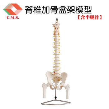 【宇祥國際】脊椎加骨盆架模型含半腿骨 (YD126)