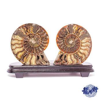 【龍吟軒】菊石開運化石擺件-大 (菊石直徑18cm重1150g)