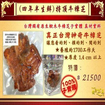 【百年永續健康芝王】牛樟芝/菇(四年半特頂) 生鮮品 (37.5g /1兩)