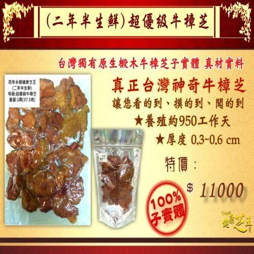 【百年永續健康芝王】牛樟芝/菇(二年半超優級) 生鮮品 (37.5g /1兩)