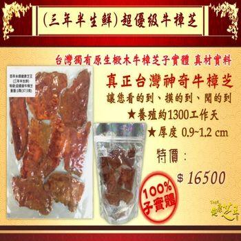 【百年永續健康芝王】牛樟芝/菇(三年半超優級) 生鮮品 (37.5g /1兩)