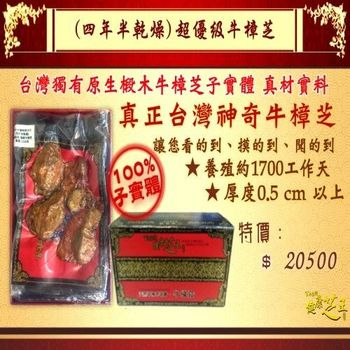 【百年永續健康芝王】牛樟芝/菇(四年半超優級) 乾燥品 (11g /1兩)