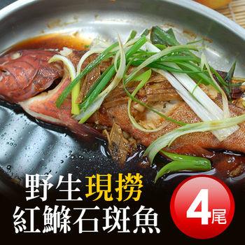 【築地一番鮮】峇里島野生紅鰷石斑魚4條(450g±50g)免運組