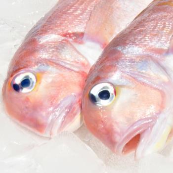 [漁季]野生馬頭魚當季限定組