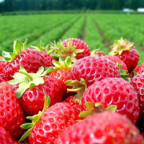 【團體】苗栗大湖草莓季出磺坑老油田文化園區莓開眼笑飯包仔一日單人券/