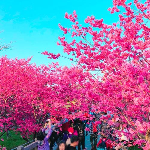 泰安櫻花祭義式風情麗寶Outlet一日遊單人劵-團體/